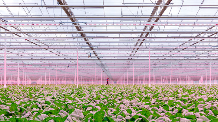 GreenPower LED toplighting in de kassen van Siberia