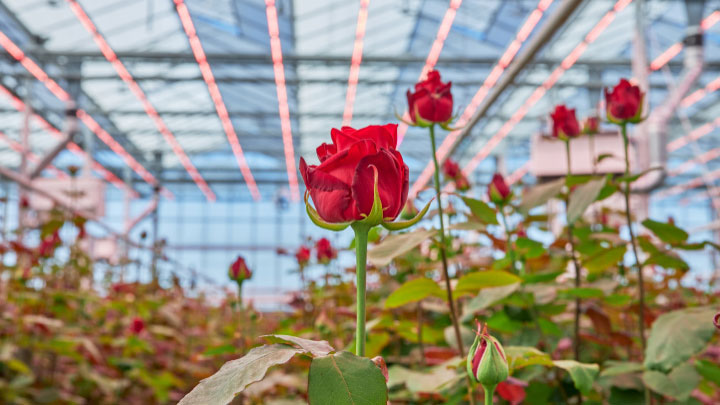 Dutch rose grower Marjoland 3
